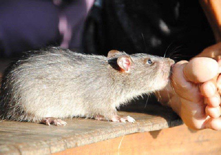 Chủ động phòng bệnh khi bị chuột cắn 1
