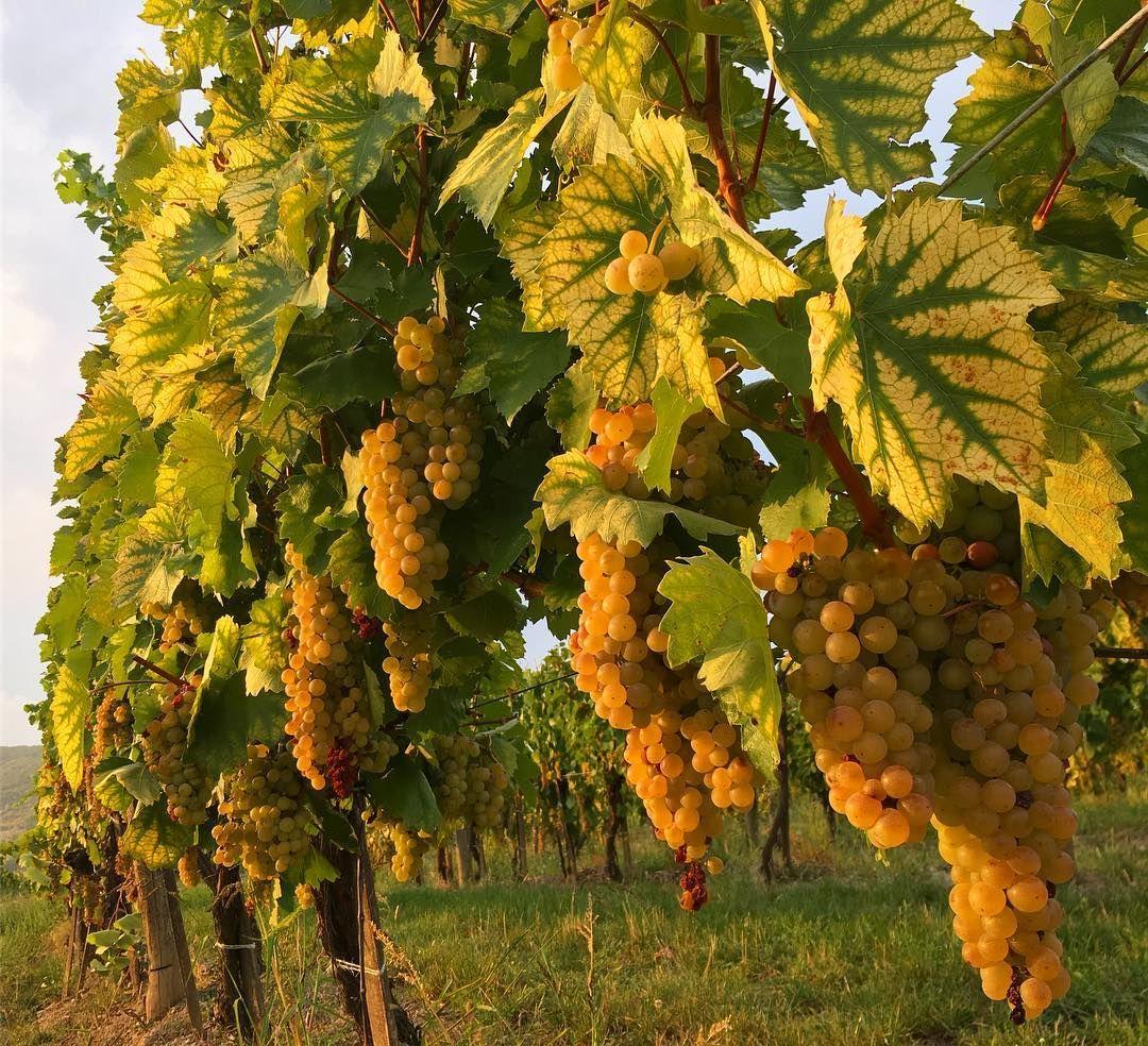 Rượu vang Tokaji Aszu, công nghệ hỗ trợ truyền thống 02