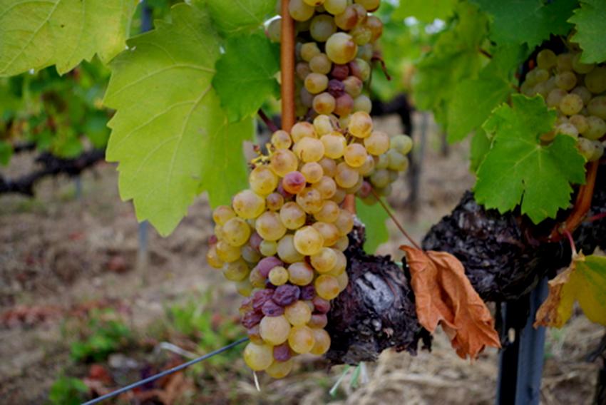 Rượu vang Tokaji Aszu, công nghệ hỗ trợ truyền thống - 07
