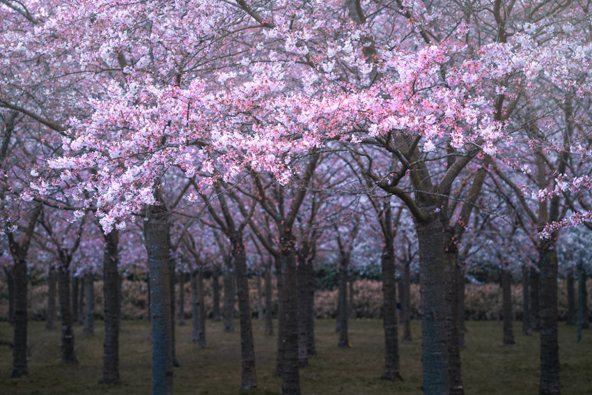 Hà Lan - thiên đường cổ tích đầy mơ mộng với hoa anh đào