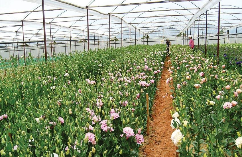 Xuất khẩu hoa Ðà Lạt tăng trưởng nhờ liên kết