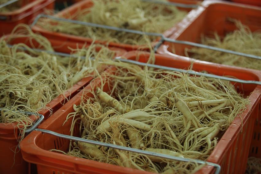 Nhân sâm được phân loại và đóng thùng trước khi đưa vào nhà máy chế biến.