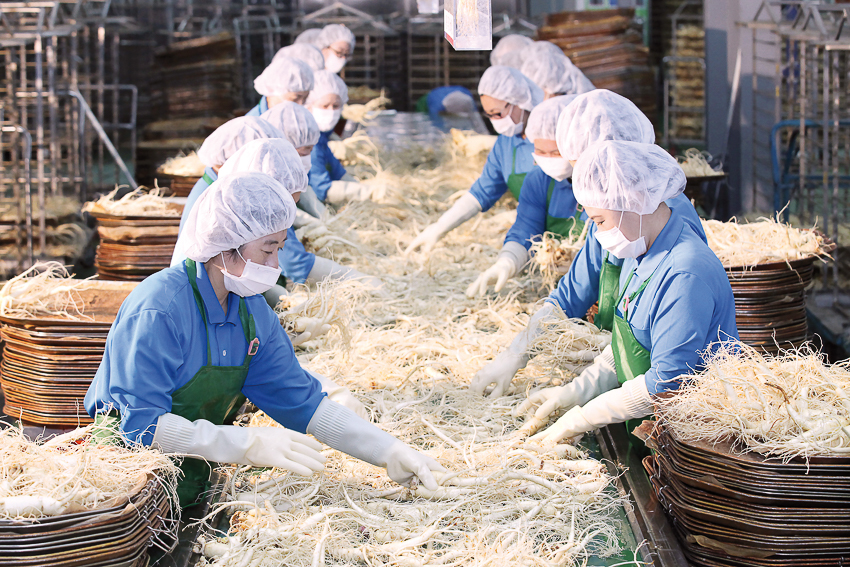 Những củ sâm tươi sau khi được rửa sạch sẽ bằng sóng siêu âm và áp suất cao, đã sẵn sàng cho công đoạn sấy khô.