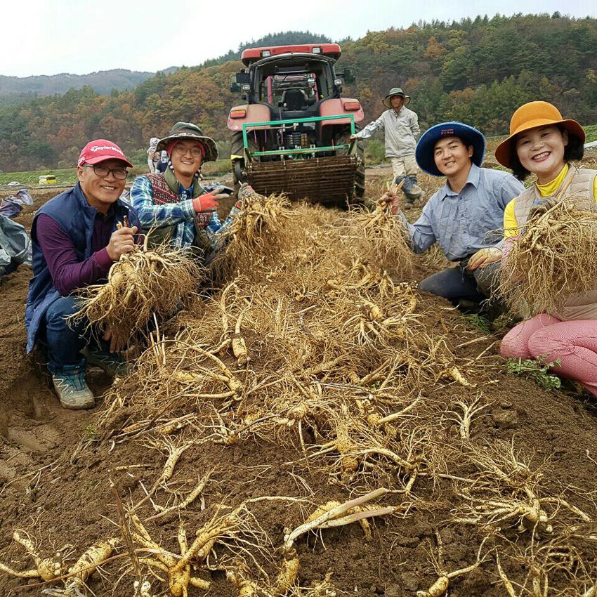 Những người nông dân nói rằng nhân sâm là cuộc sống của họ, là niềm tự hào của họ, họ yêu quý và trân trọng nhân sâm.