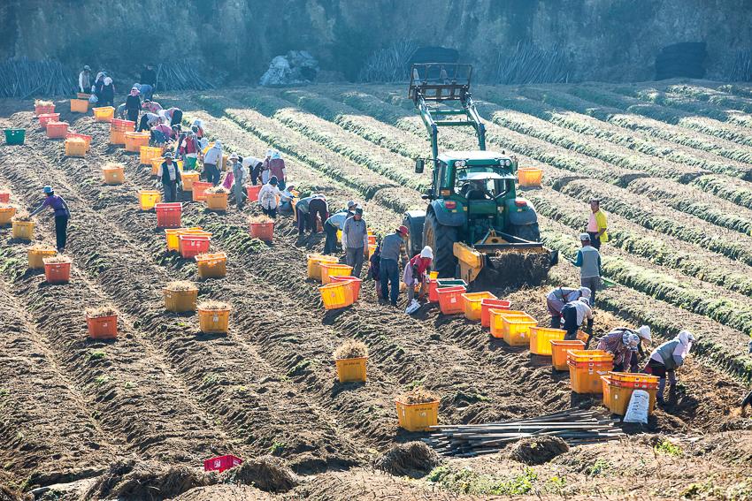 Bà con nông dân thu hoạch sâm, có sự hỗ trợ của máy móc. Đất sau thu hoạch đã trở nên cằn cỗi nên không được phép trồng nhân sâm trong 10 năm kế tiếp