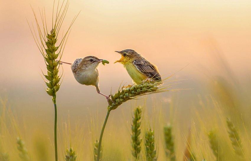 Chim mẹ mốm mồi cho chim non tại tỉnh Sơn Đông, Trung Quốc