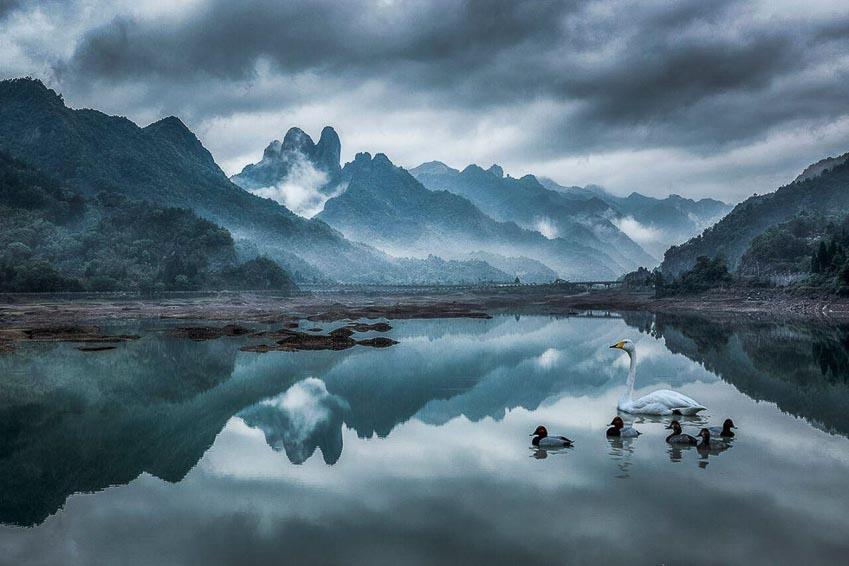 Thiên nga bơi trên mặt hồ yên bình ở Trung Quốc