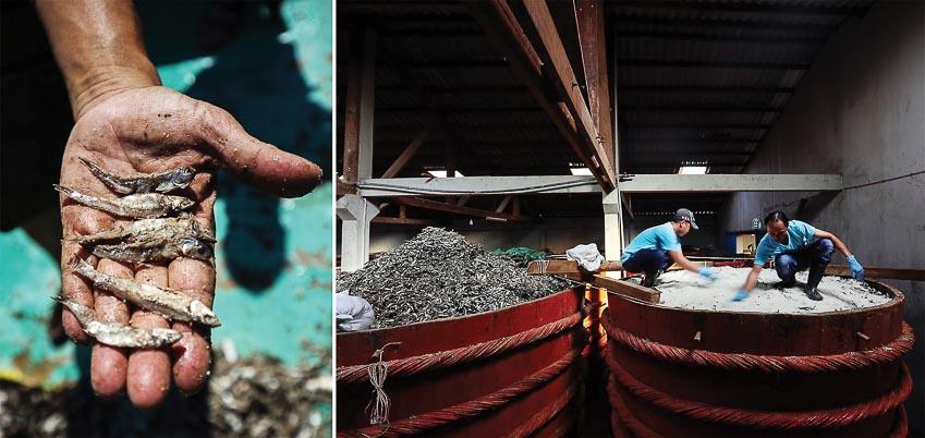 Có tới 14 tấn cá cơm đen được ướp muối và ủ trong các thùng chứa tại nhà thùng của Red Boat ở Phú Quốc; mỗi thùng chứa sẽ cho 3.000-5.000 lít nước mắm