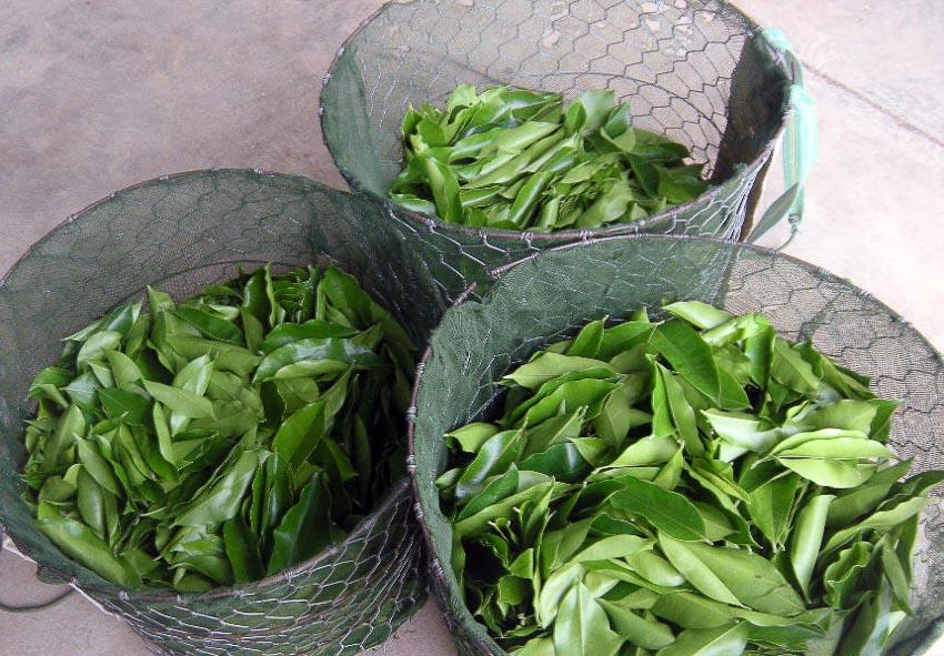 Lá trầm hương được dùng để sản xuất trà