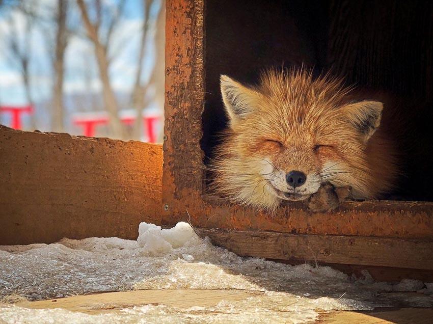 """""""Smiling Fox"""" – Tác giả: Erica Wu / Chụp bằng iPhone X"""