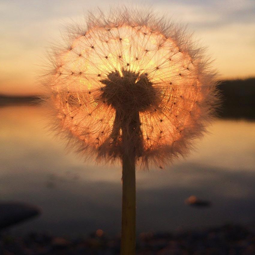 """Dandelion sunset"" – Tác giả: Sara Ronkainen / Chụp bằng iPhone 5S"