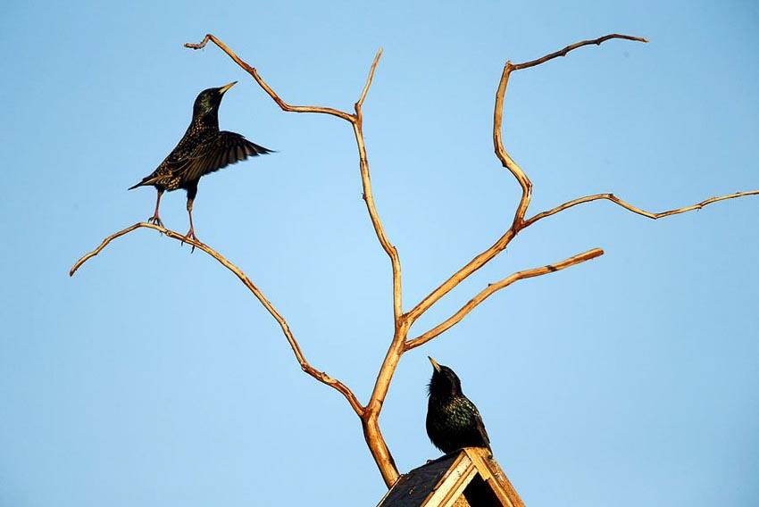 Vũ điệu chim Sáo đá 17