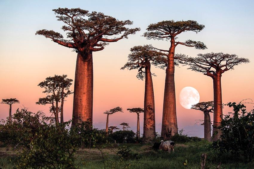 Hàng cây baobab trong hoàng hôn Madagascar