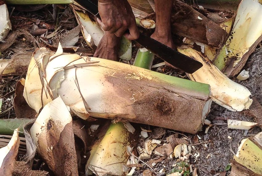 Củ hủ dừa nuôi con đuông