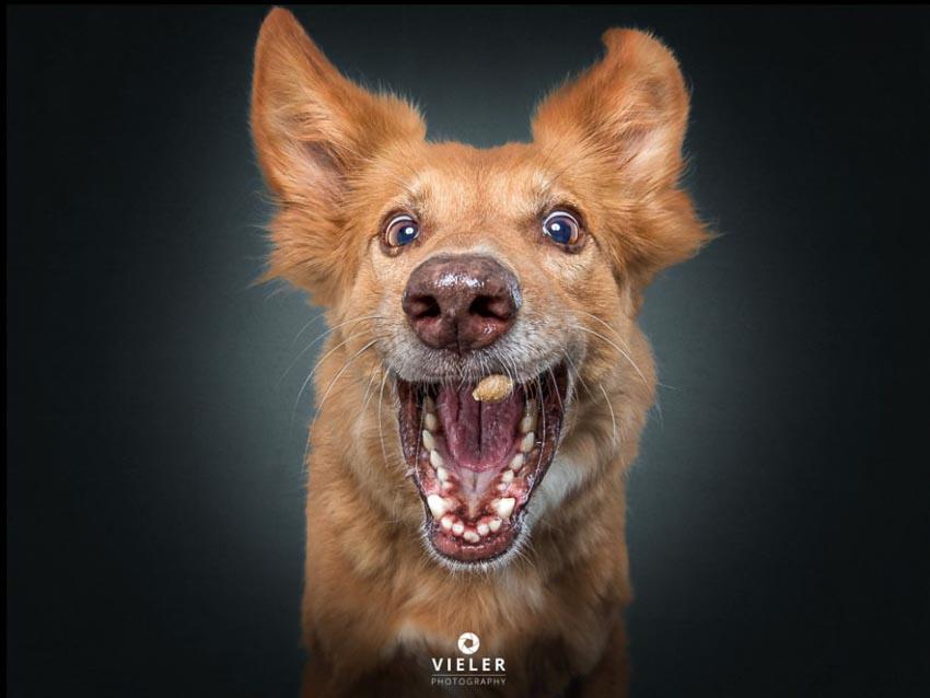 Bộ ảnh những chú chó đang cố gắng bắt thức ăn với biểu cảm hài hước 1
