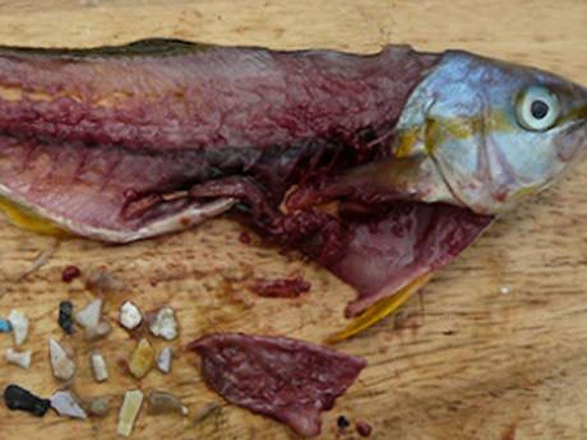 Các hạt plastic được tìm thấy sau khi mổ cá