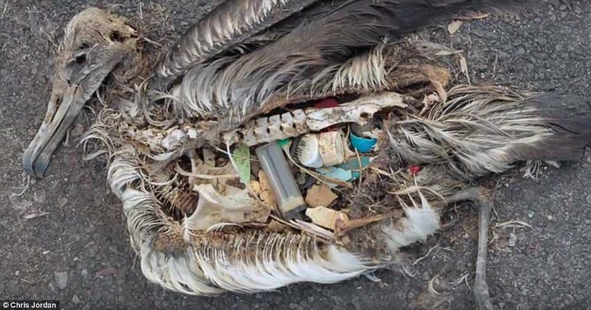 Một con hải âu chết do tưởng nhầm rác thải nhựa là thức ăn