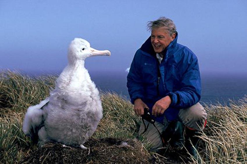 Nhà tự nhiên học David Attenborough bên cạnh con hải âu con