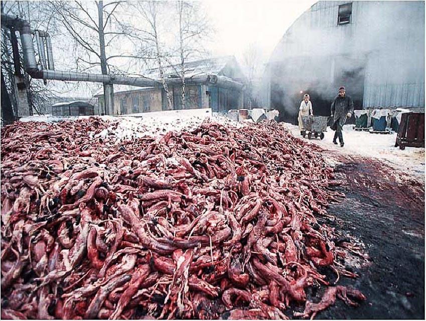 Để có nguyên liệu lông thú, hàng ngàn con vật đang khỏe mạnh bị lột da