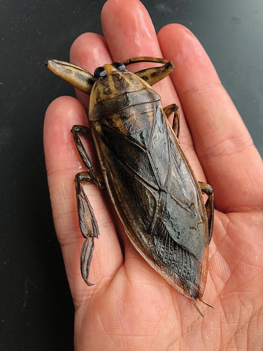 Con cà cuống, loài côn trùng có kích thước lớn