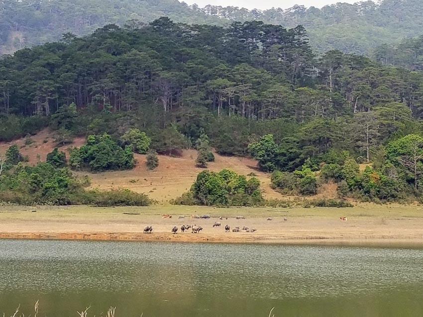 Hồ Đơn Dương thanh bình với mặt nước, đàn trâu gặm cỏ ven bờ và những dải đồi thông phía xa