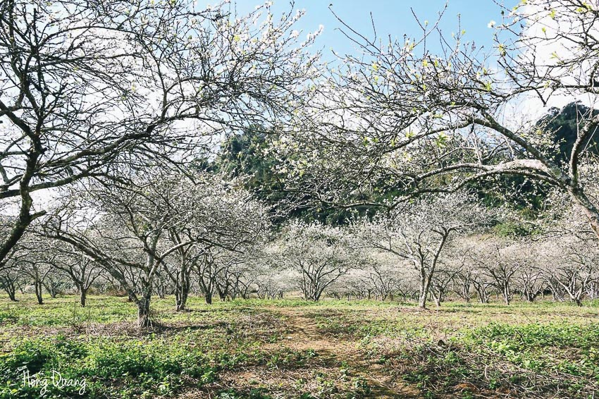 Mộc Châu mùa hoa mận - Ảnh: Hồng Quang