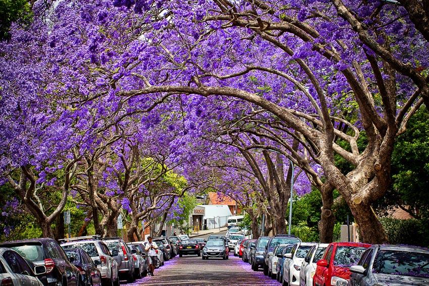 Tour du lịch ngắm hoa phượng tím ở Nam Phi và Úc 5