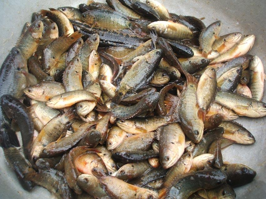Những món ăn ở Quỳnh Côi - 4