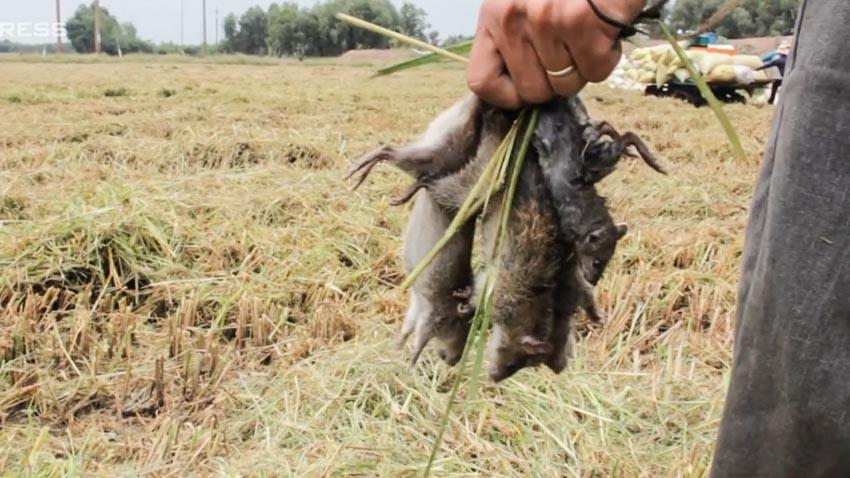 Thịt chuột ở miền Tây-8