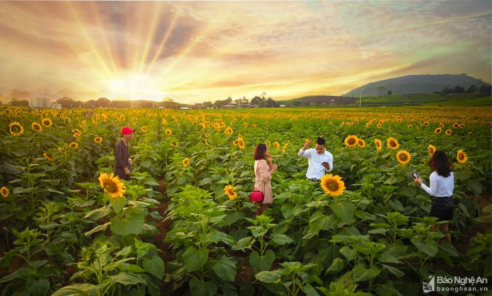 Đồng hoa hướng dương ở Nghệ An chuẩn bị khoe sắc - 02