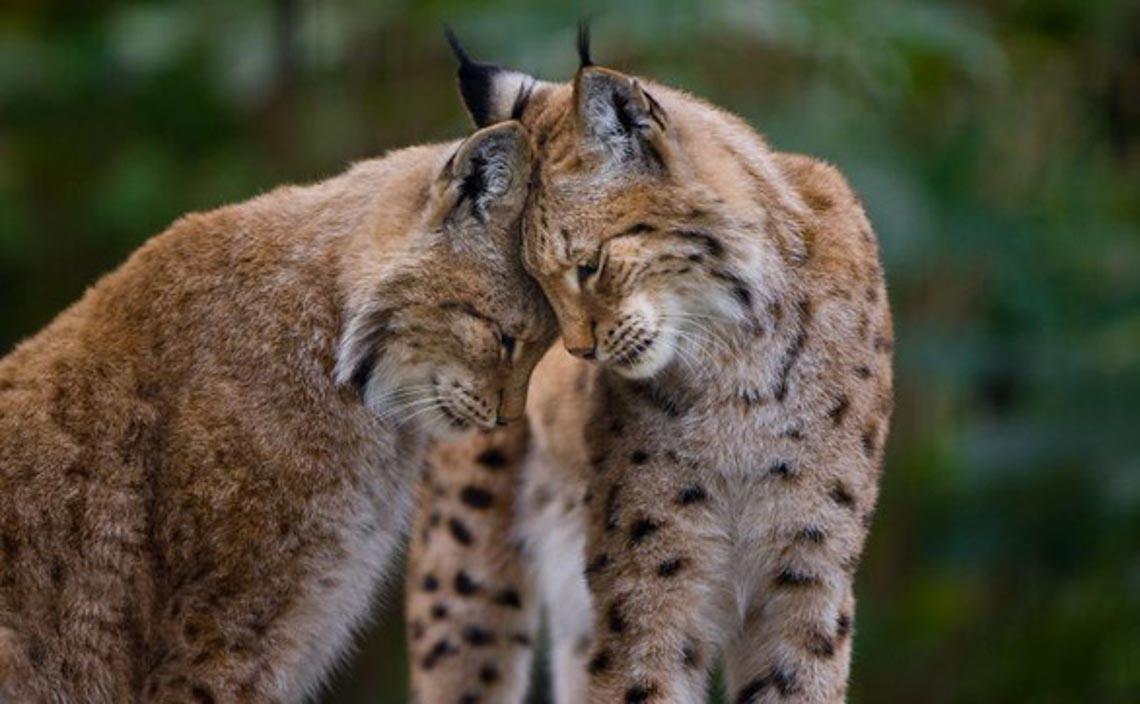 Động vật hôn nhau bày tỏ yêu thương ngọt ngào hơn cả người -1
