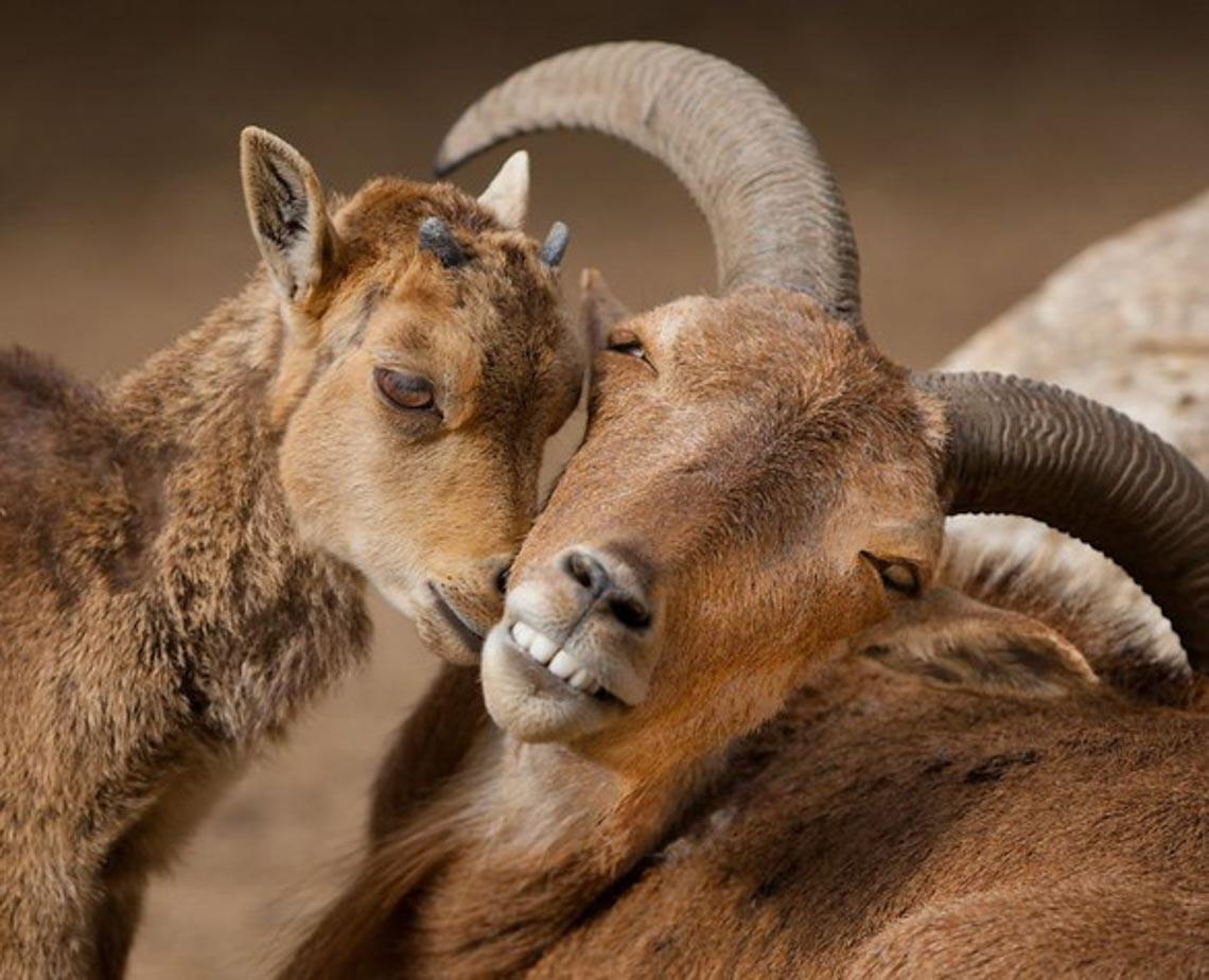 Động vật hôn nhau bày tỏ yêu thương ngọt ngào hơn cả người -6