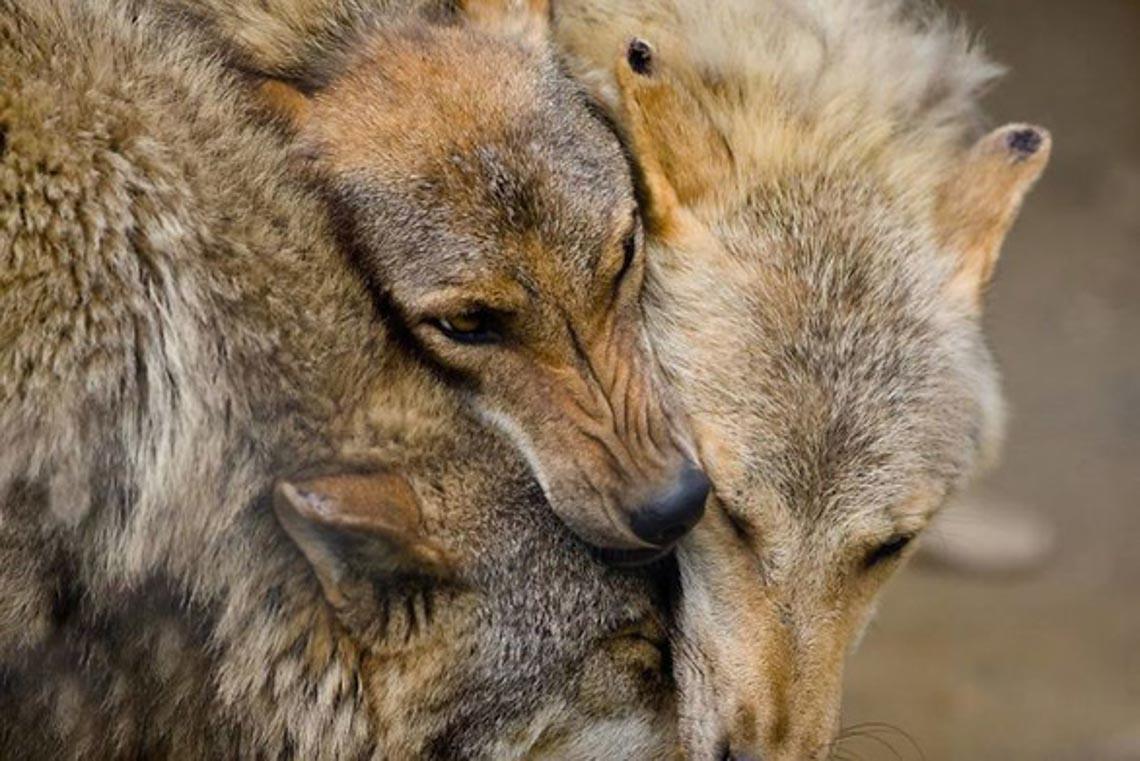 Động vật hôn nhau bày tỏ yêu thương ngọt ngào hơn cả người -9