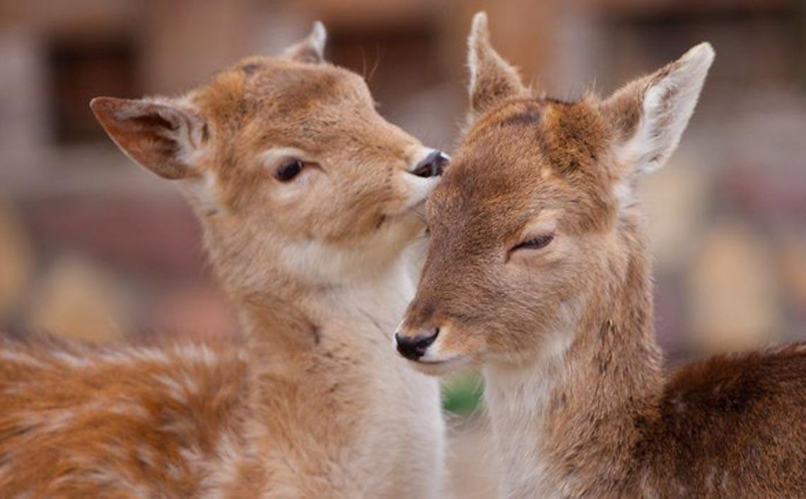 Động vật hôn nhau bày tỏ yêu thương ngọt ngào hơn cả người -11