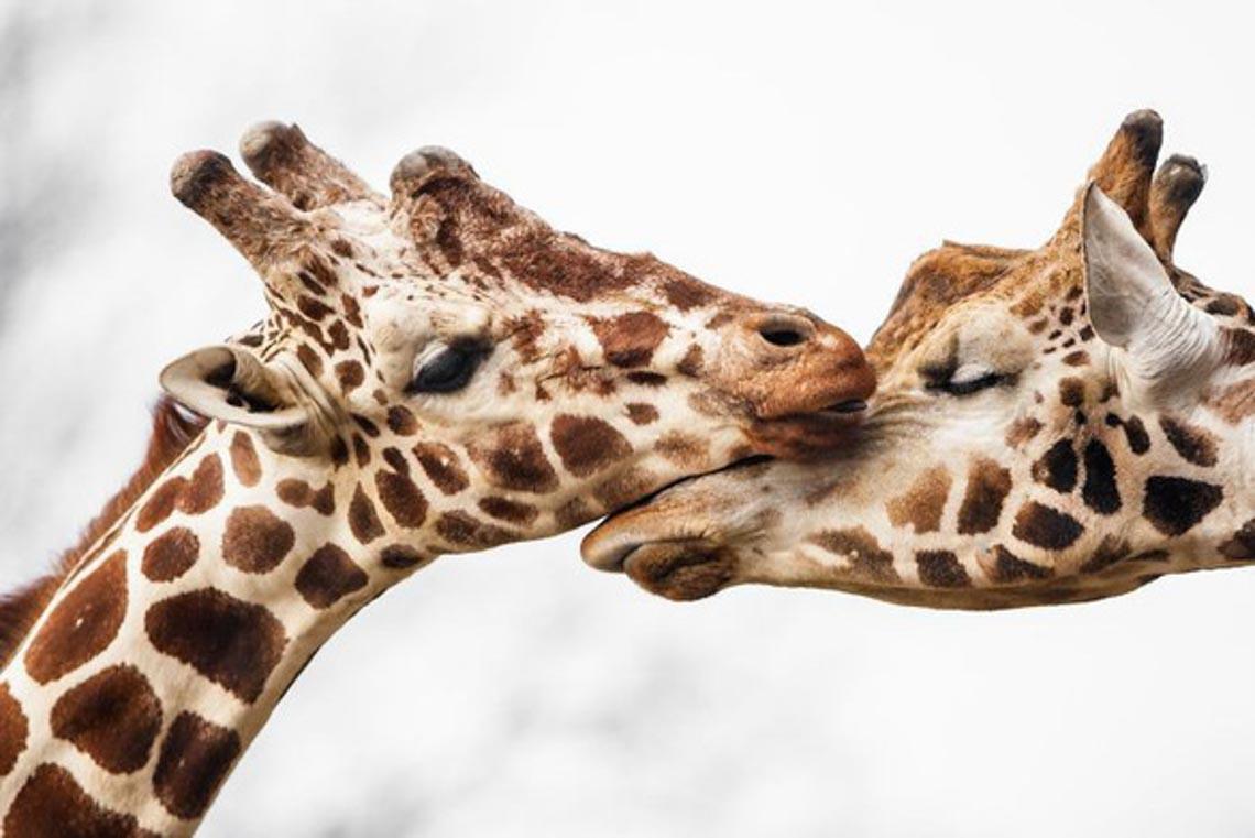Động vật hôn nhau bày tỏ yêu thương ngọt ngào hơn cả người -2