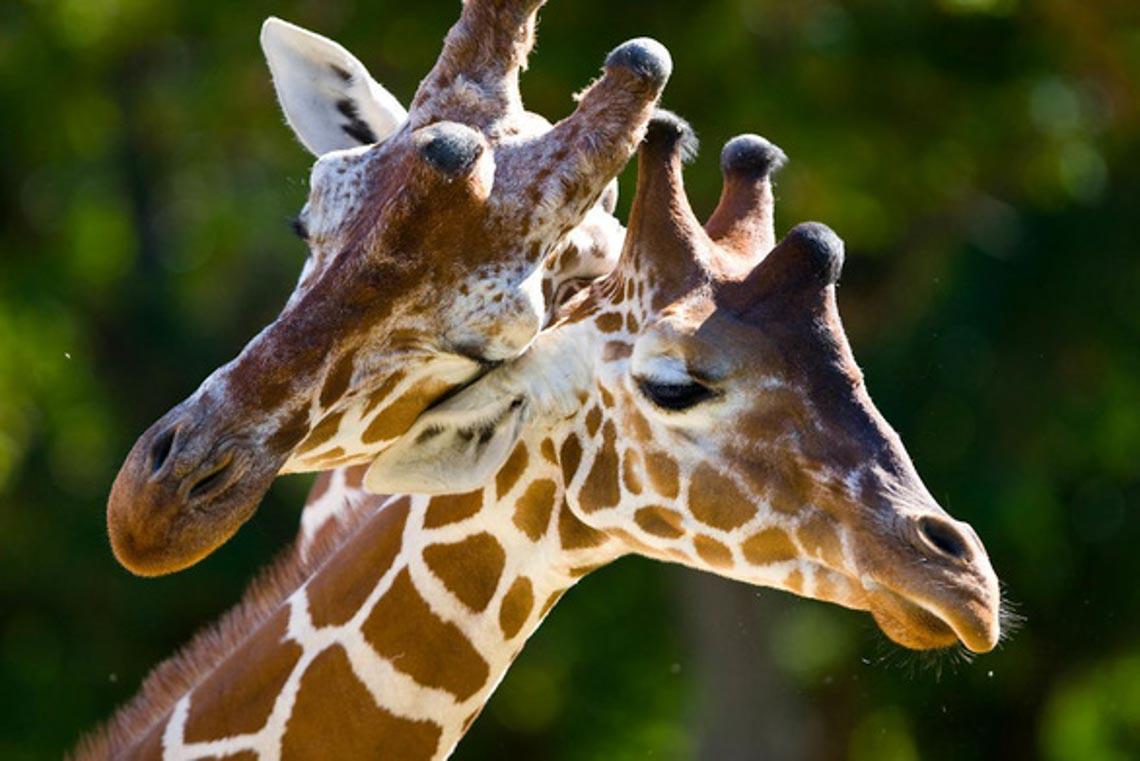 Động vật hôn nhau bày tỏ yêu thương ngọt ngào hơn cả người -12