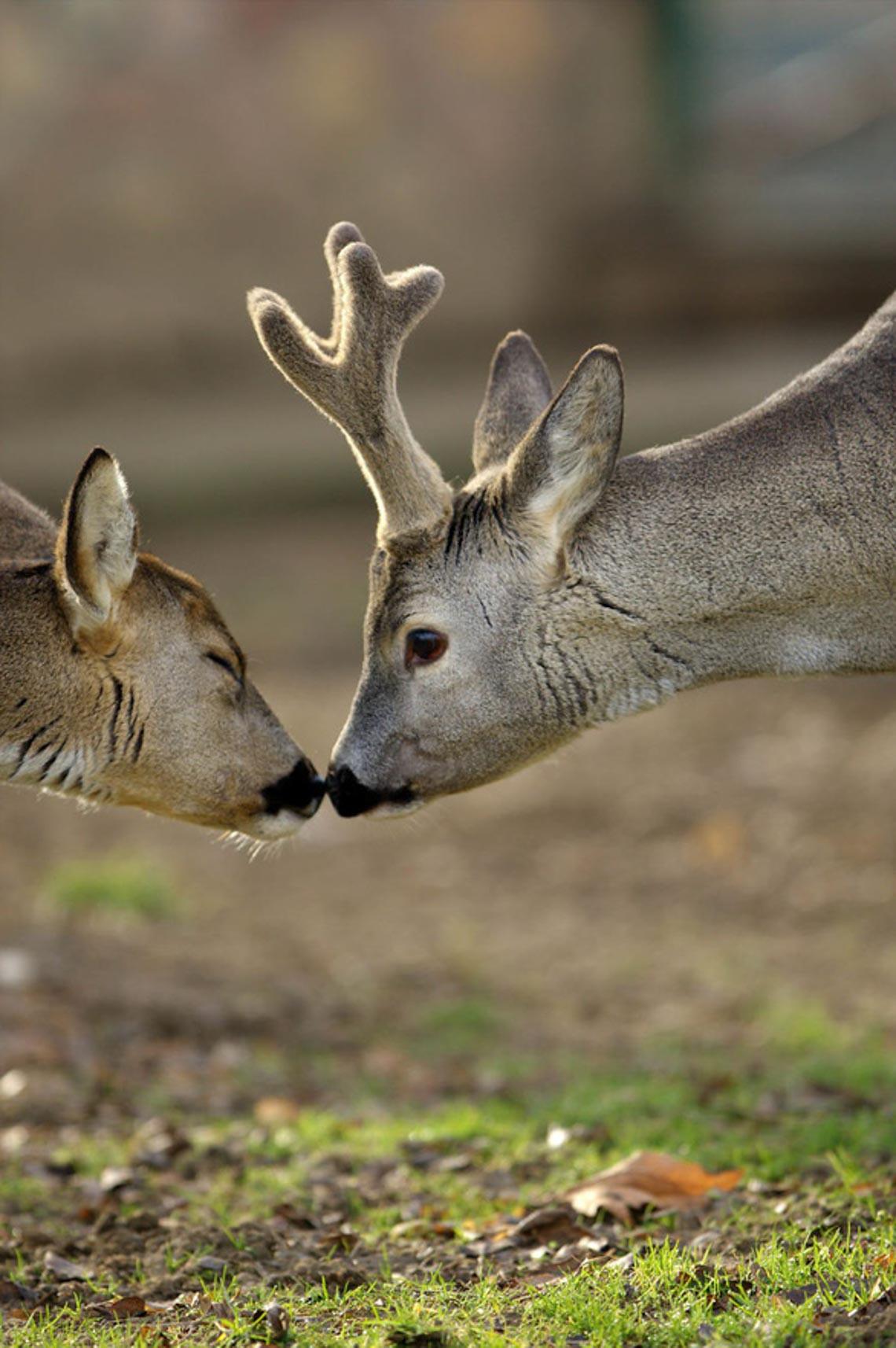Động vật hôn nhau bày tỏ yêu thương ngọt ngào hơn cả người -14