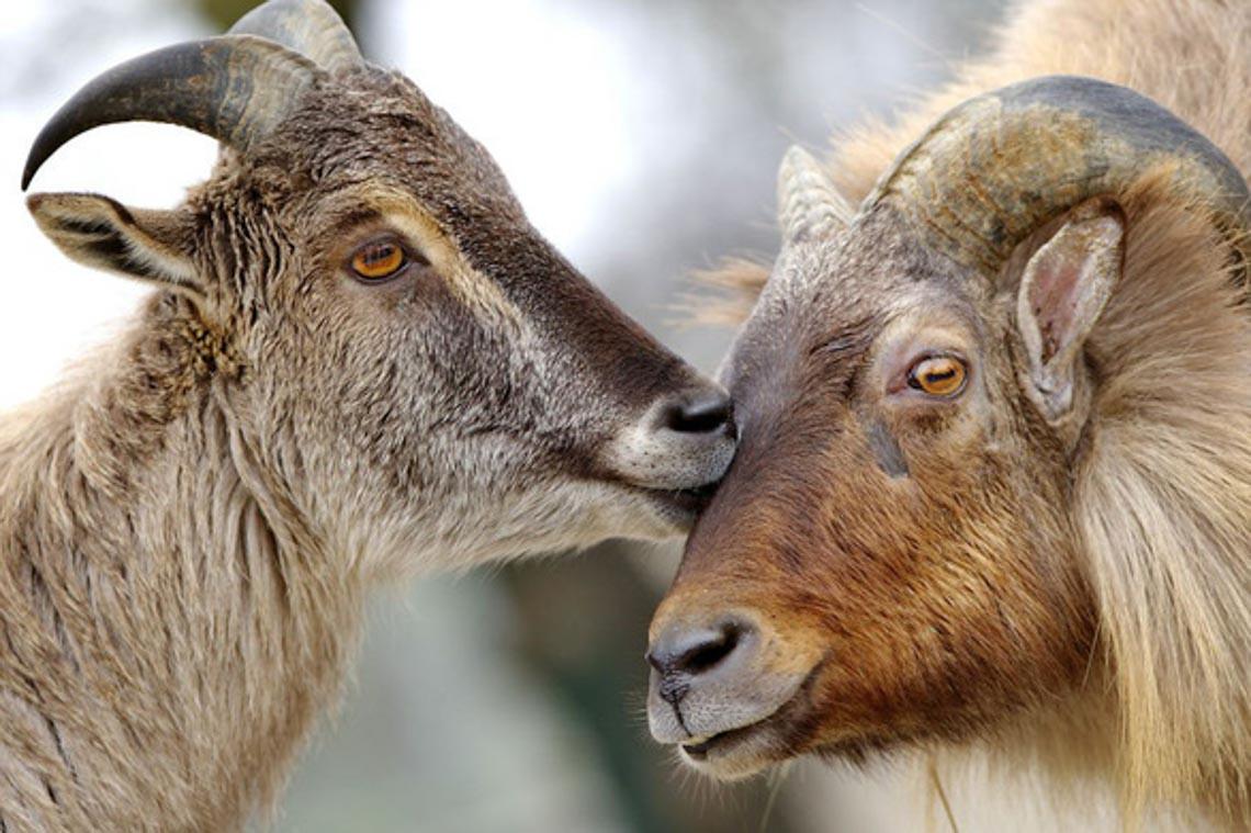 Động vật hôn nhau bày tỏ yêu thương ngọt ngào hơn cả người -17