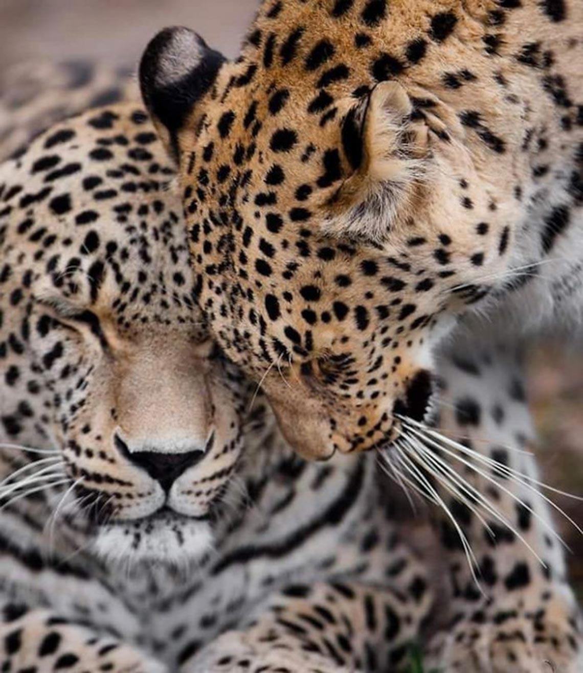 Động vật hôn nhau bày tỏ yêu thương ngọt ngào hơn cả người -3