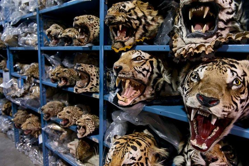 Thực trạng buôn bán hổ bất hợp pháp ở Đông Nam Á - 4