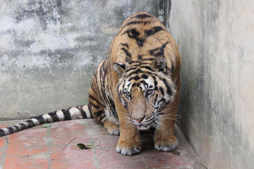 Thực trạng buôn bán hổ bất hợp pháp ở Đông Nam Á - 6