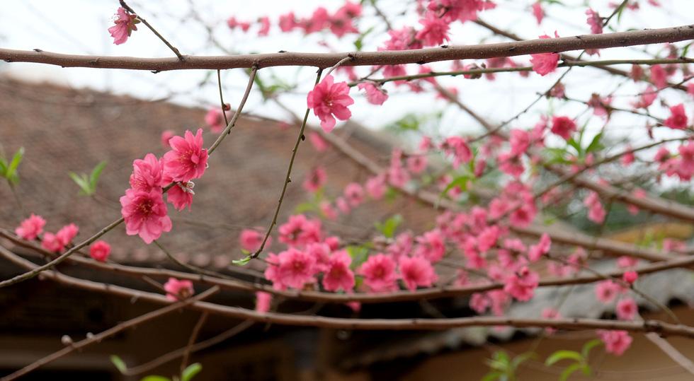 Ngắm cây đào 'siêu to khổng lồ' ở Bắc Giang nở đầy hoa đỏ rực - 10