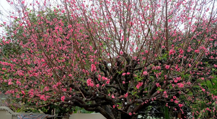Ngắm cây đào 'siêu to khổng lồ' ở Bắc Giang nở đầy hoa đỏ rực 11
