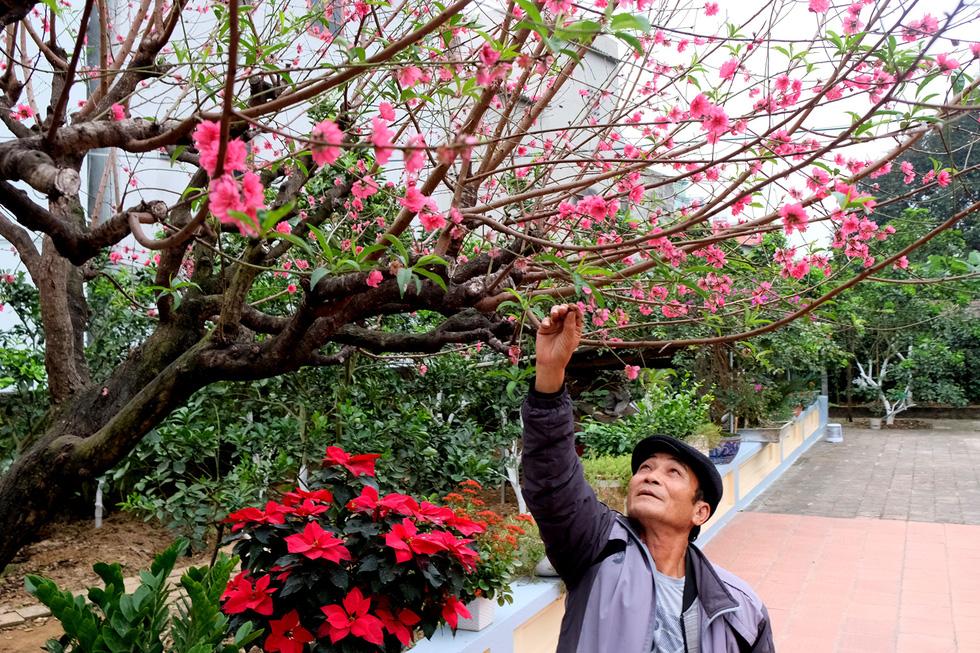 Ngắm cây đào 'siêu to khổng lồ' ở Bắc Giang nở đầy hoa đỏ rực - 12