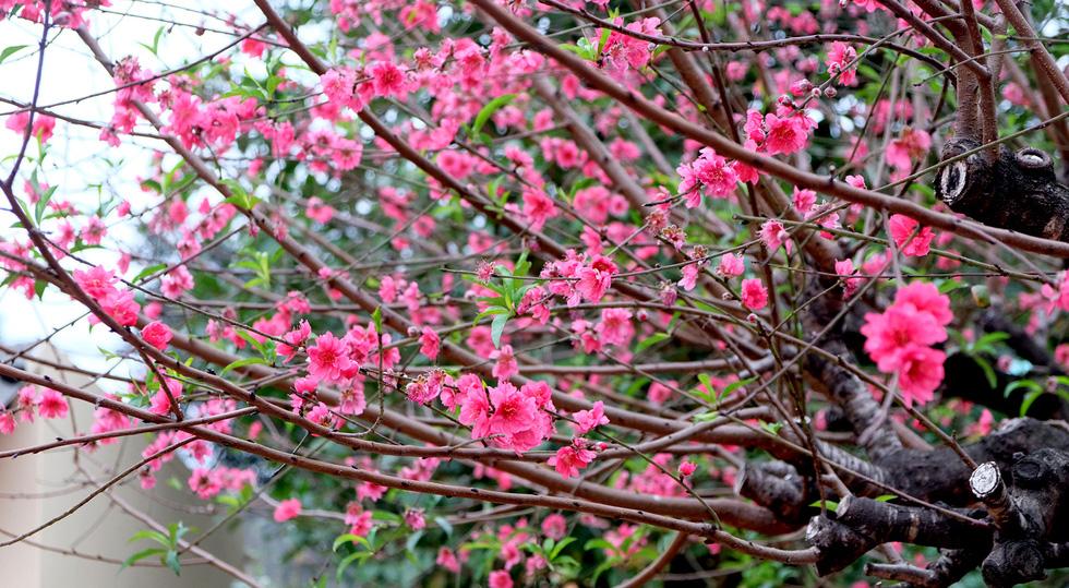 Ngắm cây đào 'siêu to khổng lồ' ở Bắc Giang nở đầy hoa đỏ rực - 2