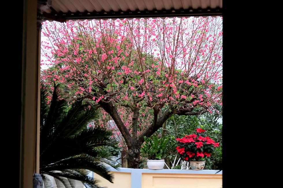 Ngắm cây đào 'siêu to khổng lồ' ở Bắc Giang nở đầy hoa đỏ rực - 3