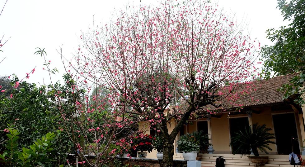Ngắm cây đào 'siêu to khổng lồ' ở Bắc Giang nở đầy hoa đỏ rực - 5