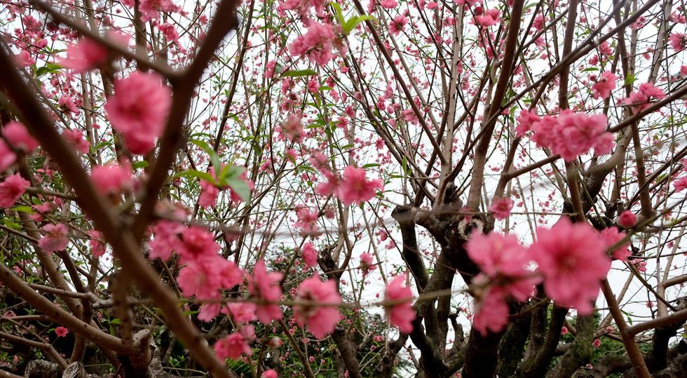 Ngắm cây đào 'siêu to khổng lồ' ở Bắc Giang nở đầy hoa đỏ rực - 7