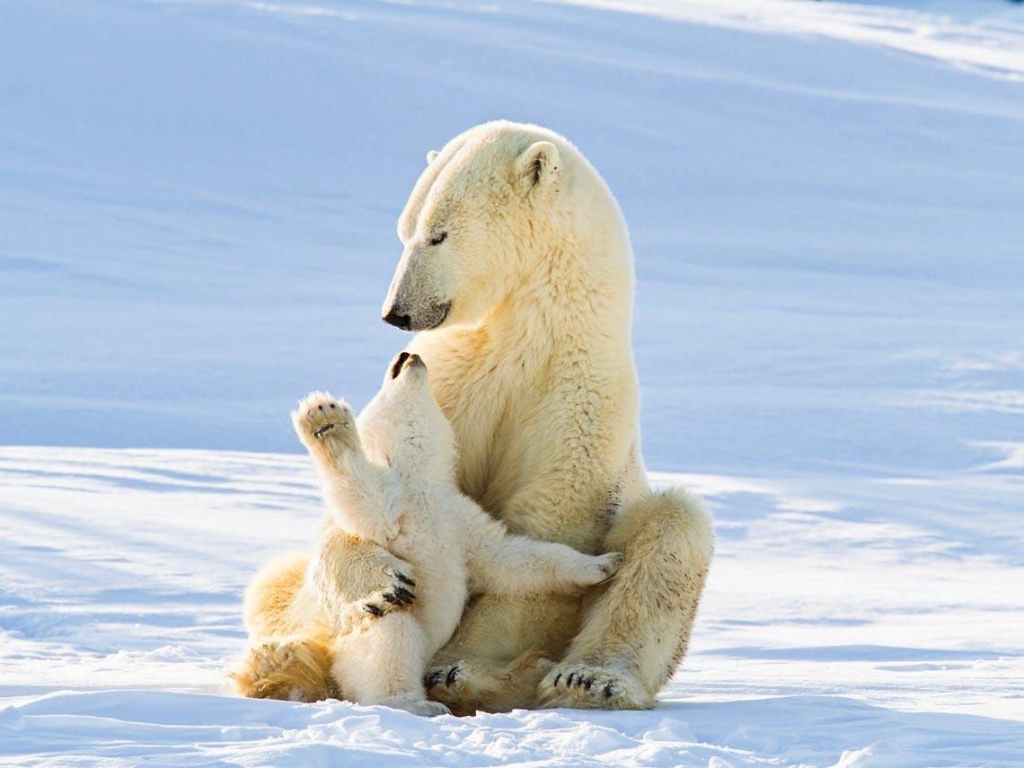 Những tác phẩm nhiếp ảnh xuất sắc về gấu Bắc cực -10