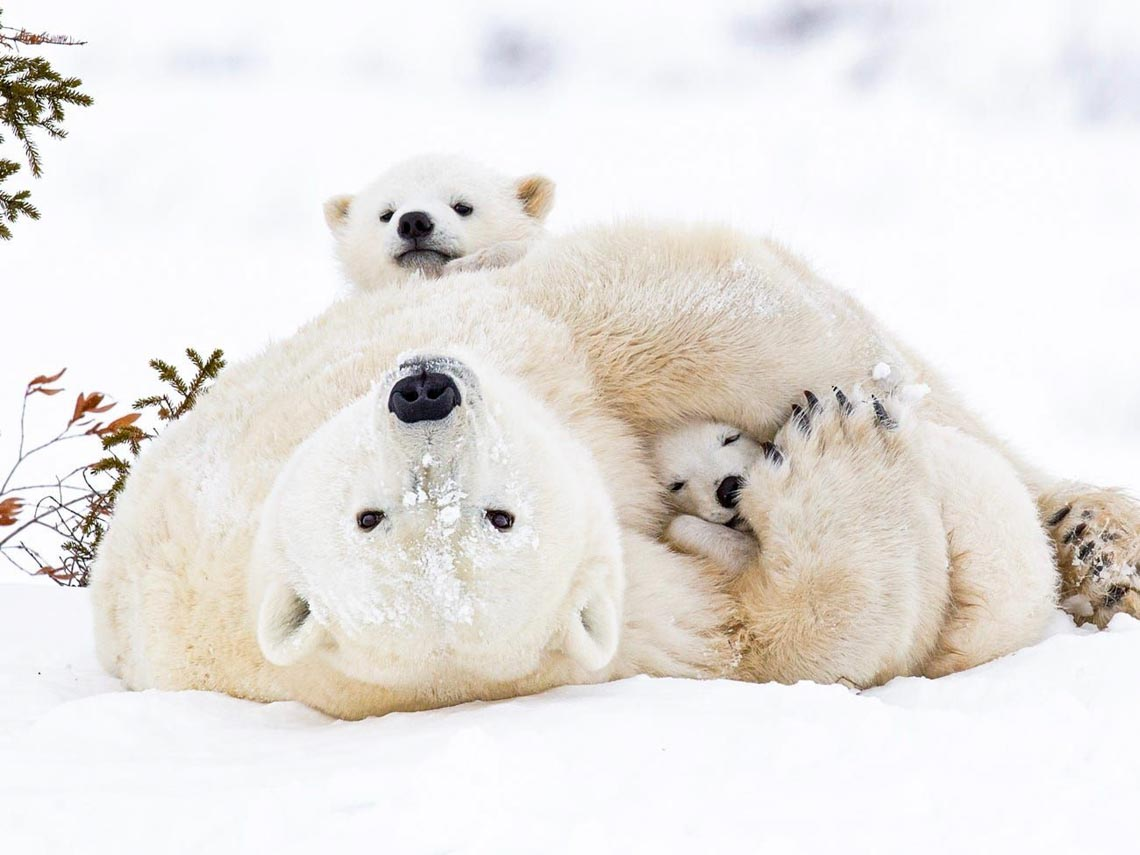 Những tác phẩm nhiếp ảnh xuất sắc về gấu Bắc cực -11